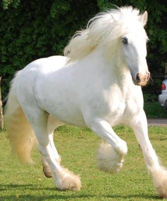 Hermoso Caballo Blanco
