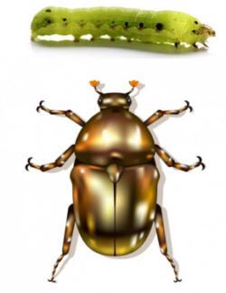 Gusano y Escarabajo